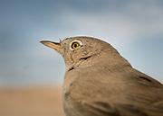 Detail of a desert bird called Shrike,  a carnivorous passerine birds of the family Laniidae.