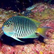 Black Spot Angelfish inhabit reefs; picture taken Fiji.