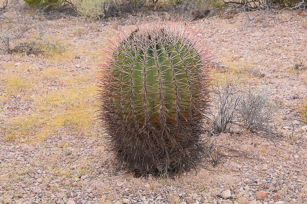 "The fishhook barrel cactus is a rather common large barrel cactus found in the Sonoran and Chihuahuan Deserts of the American Southwest with a range stretching from Arizona through New Mexico to Texas, as well as south of the border into the northern parts of the Mexican states of Sonora and Chihuahua. As with many cacti, it has many regional names such as the Arizona barrel and biznaga-barril de Nuevo México and is found in open rocky ground, shrub-steppe, chaparral and at the base of desert hills and mountains where there is some gathering of water during seasonal rains. Mature plants can reach upwards of 5 feet tall, and live to 50 to 130 years, and as they get larger, they will tend to lean to face south or southwest-ward, which is why come people also call it the compass cactus. Vicious recurved spines (or ""fishhooks"") protect it from predators such as javelinas, and the fleshy yellow fruits are an important food source for birds, mule deer, and javelinas. This one was found and photographed in the Puerto Blanco mountain range in the Sonoran Desert in Southern Pima County, Arizona."
