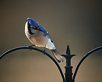 Blue Jay at the bird feeder. Image taken with a Nikon D5 camera and 600 mm f/4 VR lens