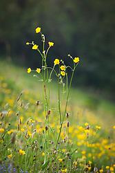 Meadow buttercups. Ranunculus acris