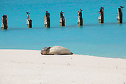 Hawaiian monk seal, Neomonachus schauinslandi, Critically Endangered Species, endemic to Hawaii, dozes on beach next to pilings from old pier from World War II days, Sand Island, Midway Atoll, Midway Atoll National Wildlife Refuge, Papahanaumokuakea Marine National Monument, Northwest Hawaiian Islands, United States ( Central North Pacific Ocean )