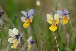 Zinkviooltje, Viola lutea subsp. calaminaria