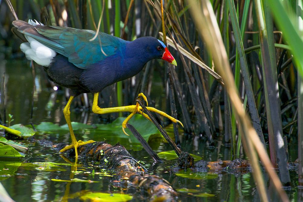 Purple Gallinule Stalking