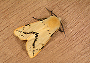 Close-up of a Buff ermine moth (Spilosoma luteum) resting on a wooden panel in a Norfolk garden in summer