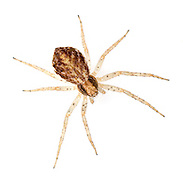 Philodromus dispar - female. Probably the commonest running crab spider in Britain and is found hunting on trees and bushes in gardens, hedgrows and woodlands. The black and white male is distinctive.