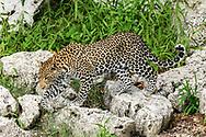 Leopard steps across boulders on  embankment, Chobe National Park, Botswana, © David A. Ponton