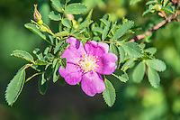 One of the several wild roses found in the Pacific Northwest, the Woods' rose prefers a drier habitat, and is often found along riversides and streams, such as this one that was actually overhanging Cowiche Canyon, just west of Yakima, WA.