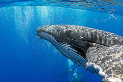 Humpback Whales, Megaptera novaeangliae, courtship behavior - male blowing bubbles around female, Hawaii, Pacific Ocean.