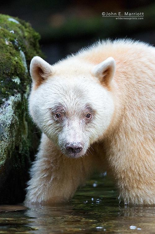 Spirit bear in the Great Bear Rainforest, British Columbia, Canada