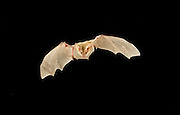 A pallid bat (Antrozus pallidus) flying at night in the Kaibab National Forest, Arizona. Near the Grand Canyon.
