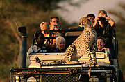 Cheetah using tourist vehicle as look out point, Okavango Delta, Botswana, Africa.