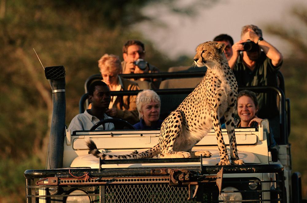 Cheetah using tourist vehicle as look out point, Okavango Delta, Botswana, Africa.