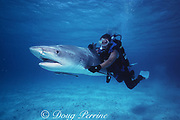 shark wrangler Mike Braun swims a tiger shark, Galeocerdo cuvier, to revive it after being working up by the U. of Miami RSMAS shark research team, South Bimini, Bahamas ( Western Atlantic ) MR 319