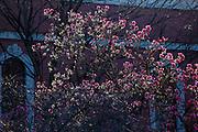 USA, Oregon, Portland, magnolia blooming.