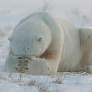 Polar bear, Cape Churchill, Manitoba, Canada