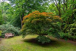 Chinese Yellow Wood tree ( Maackia Amurensis) at Achamore Gardens on Isle of Gigha, Kintyre peninsula, Argyll & Bute, Scotland, UK