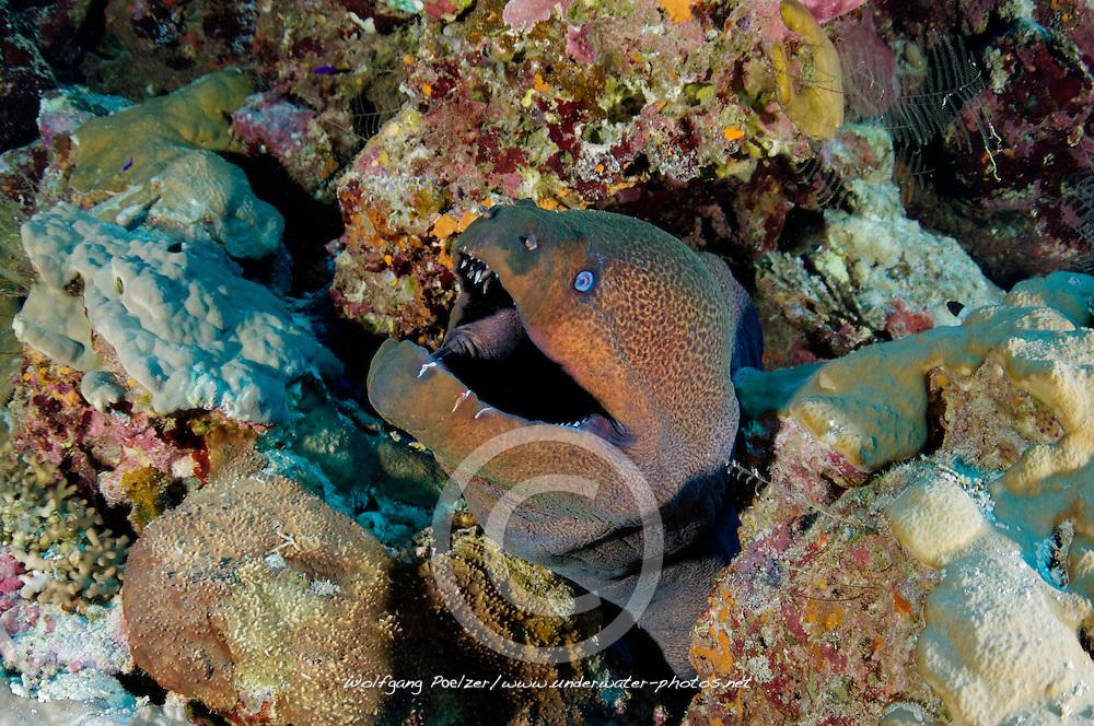 Gymnothorax javanicus, Riesenmuräne im Korallenriff, Coral reef and Giant moray eel, morayeel, Rotes Meer, Ägypten, Red Sea Egypt