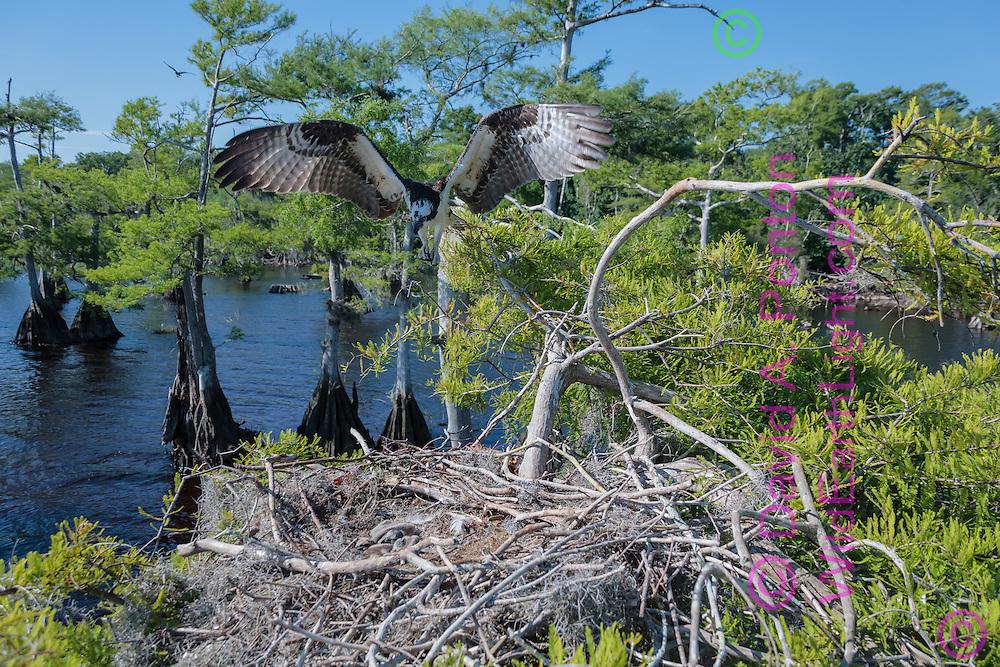 Osprey flying to nest in cypress tree, © David A. Ponton