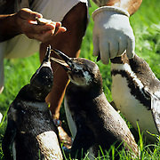 South America, Uruguay; Piriapolis; Banded penguins at the animal rescue facility.