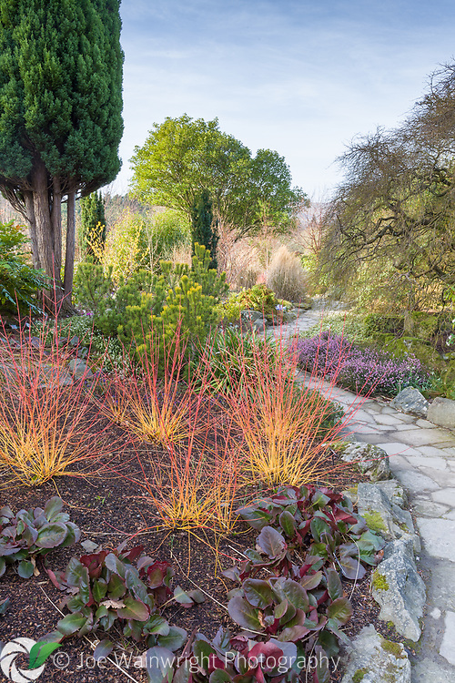 The colourful Winter Garden at Bodnant Garden, North Wales, photographed early on a February morning. This image is available for sale for editorial purposes, please contact me for more information.