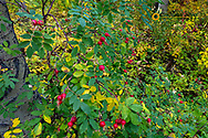 Rose hips in autumn in the Lewis and Clark National Forest, Montana, USA