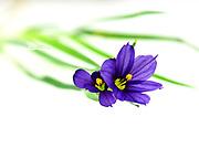 Macro photo of Strict Blue-eyed Grass (Sisyrinchium montanum) on a white background.