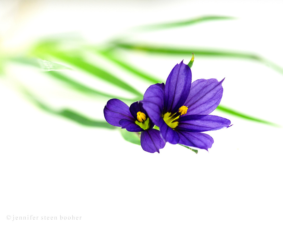 Macro photo of Strict Blue-eyed Grass (Sisyrinchium montanum) on a white background.