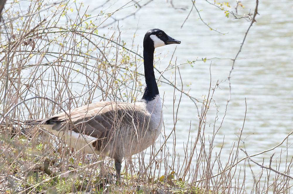 A goose standing along the Raritan River in Hillsborough, NJ