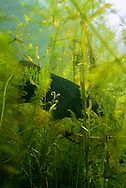 Smallmouth Bass in thick cover<br /> <br /> Engbretson Underwater Photography