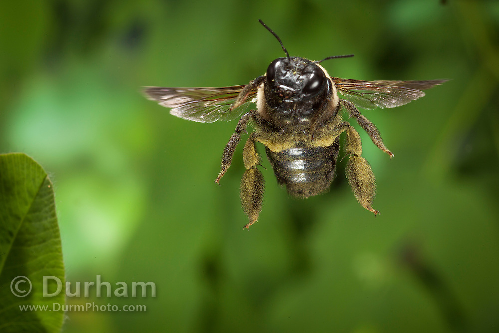 Eastern carpenter bee (Xylocopa virginica) covered in pollen. Photographed in flight near the north Cherokee National Forest, Tennessee. This bee was large, fast and very aerobatic in the air.