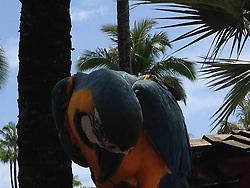 Parrot at Westin Maui Resort, Maui, Hawaii, US