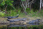 Alligators basking in the sun by Turner River, Everglades, Florida, United States of America