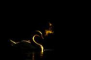 Mute swan backlit at dawn, UK