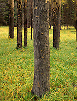 Aspen trunks (Populus tremuloides) Banff National Park Alberta Canada