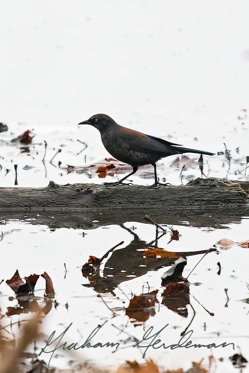 A male Rusty Blackbird in winter plumage walks along a log at Nashville's Radnor Lake.