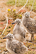 Western gull chicks (Larus occidentalis), Anacapa Island, Channel Islands National Park, California