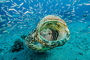 Goliath Grouper, Epinephelus itajara, and Cigar Minnows, Decapterus punctatus, swim side by side near the shipwreck of the Zion in Jupiter, Florida, United States.
