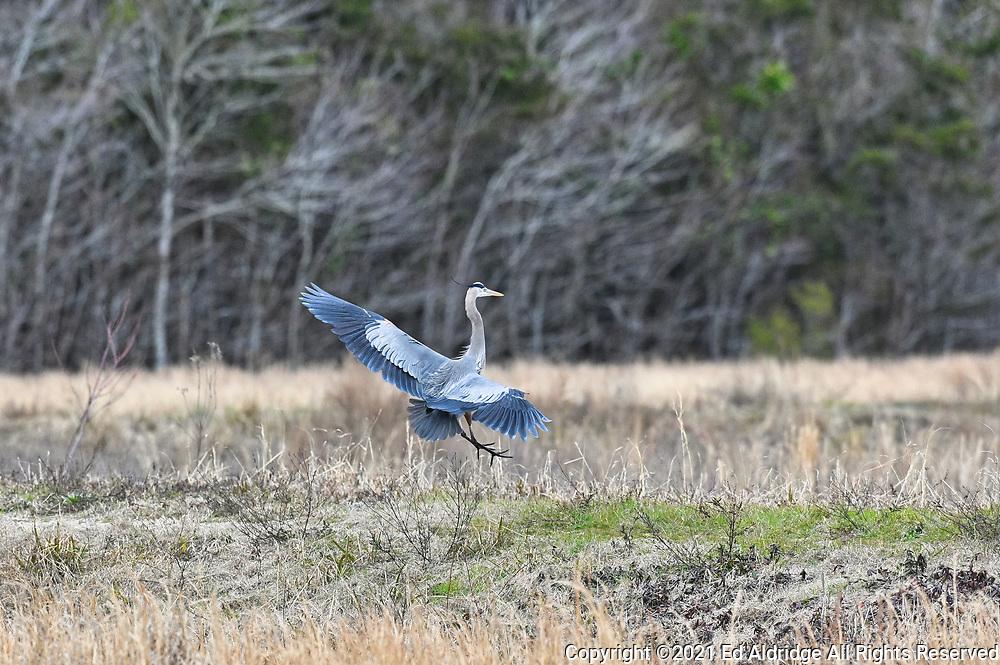 Great Blue Heron landing at the Alligator river national Wildlife Refuge, North Carolina. Image taken by Ed Aldridge with a NIKON Z 6_2 and 500mm f/4D at 500mm, ISO 2800, f5.6, 1/2500.