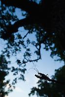 Tanner Sawyer Beetle (Prionus coriarius) in its habitat on old oak, National Park Djerdab, Serbia