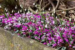 Stone trough at Hanham Court planted up with snowdrops and cyclamen. Galanthus nivalis 'Sam Arnott' AGM and Cyclamen coum