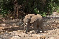 African Elephant, Loxodonta africana, walks beside a rocky stream in Lake Manyara National Park, Tanzania