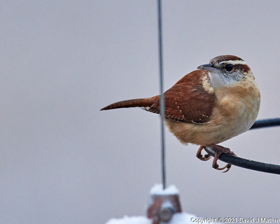 Carolina Wren (Thryothorus ludovicianus). Image taken with a Nikon D5 camera and 600 mm f/4 VR lens.