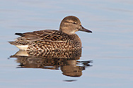 Green-winged Teal - Anas carolinensis - female