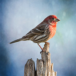 A Male House Finch Perched On Top Of A Log Backed By Soft Blue
