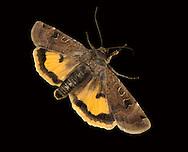 Lunar Yellow Underwing - Noctua orbona