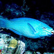 Queen Parrotfish swim about reefs and adjacent areas scrapping filamenmtous algae from hard substrates in  Tropical West Atlantic; picture taken Grand Cayman.