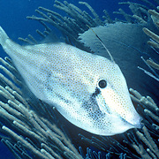 range Filefish are commonly over seagrasses, areas with gorgonians and around reefs in Tropical West Atlantic; picture taken Bahamas.