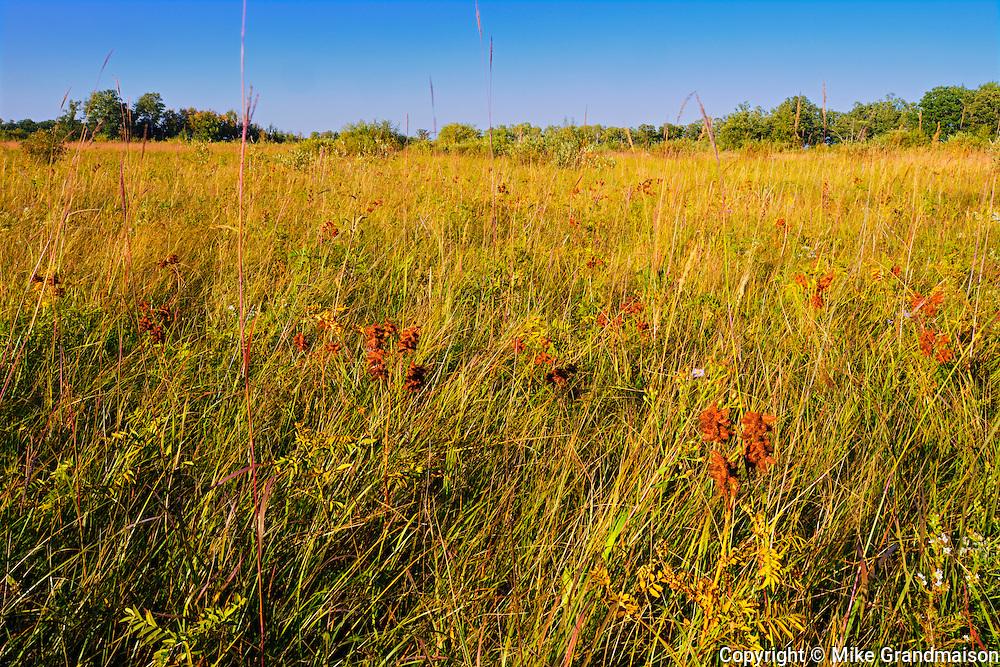Wild licorice on the tall grass prairie<br /> Tolstoi Tall Grass Prairie Preserve<br /> Manitoba<br /> Canada