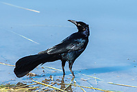 A male Great-tailed Grackle, Quiscalus mexicanus, stands in shallow water in Kern National Wildlife Refuge, Kern County, California